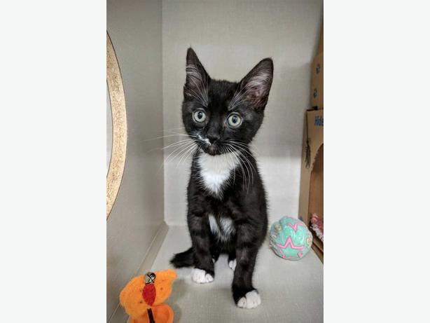 Edgar - Domestic Short Hair Kitten