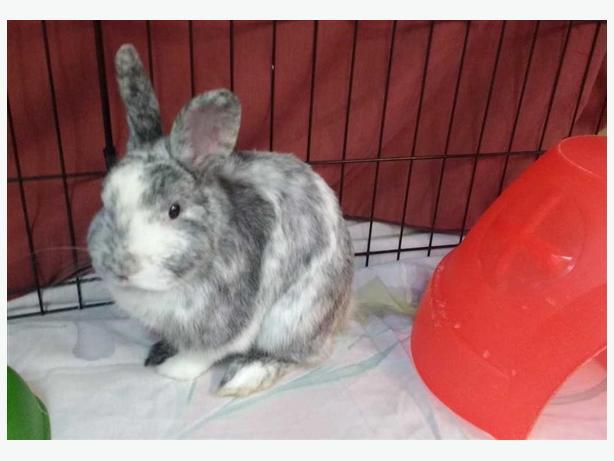 Bradey - American Rabbit