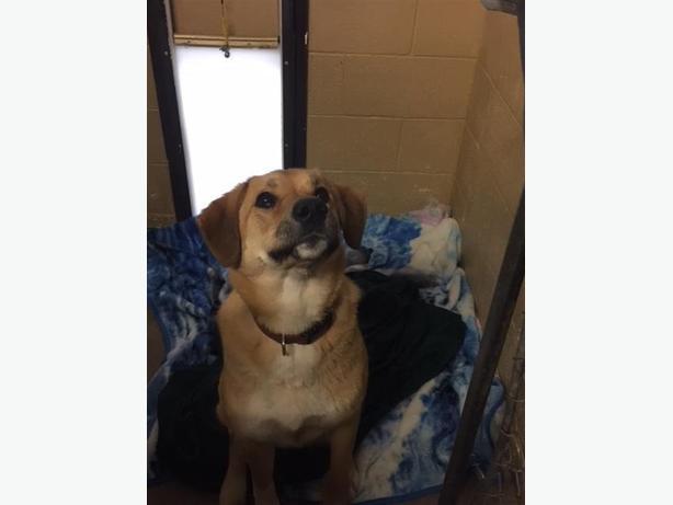 Sheba - Labrador Retriever Dog