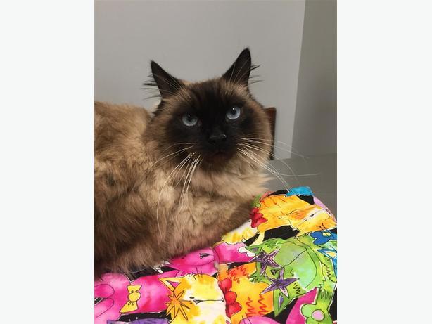 Jp *adoption Pending* - Himalayan Cat