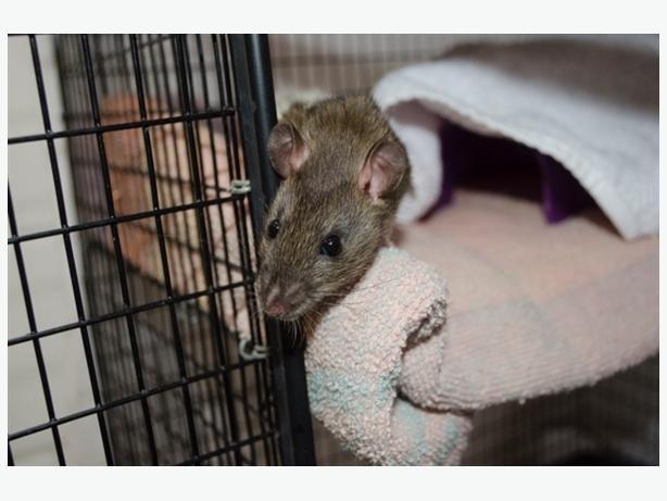 Jack - Rat Small Animal