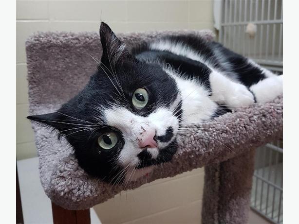 Mitchell - Domestic Short Hair Cat