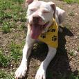 Doug - Pit Bull Terrier Dog