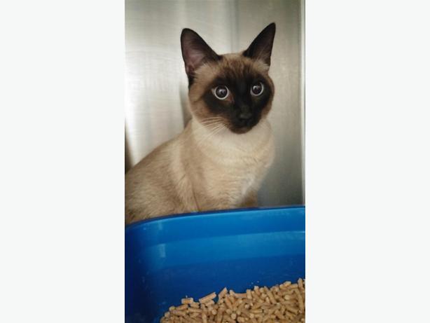 Zeplin - Siamese Cat