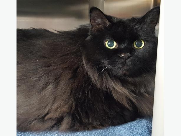 Ceecee - Domestic Medium Hair Cat