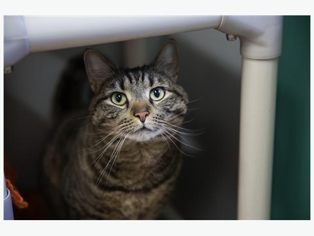 Heatley - Domestic Short Hair Cat