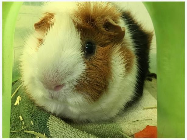 Mog - Guinea Pig Small Animal