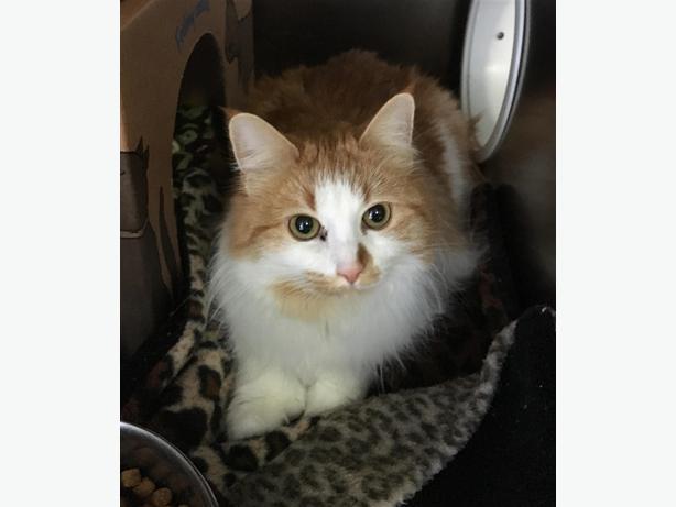 Polly - Domestic Medium Hair Cat