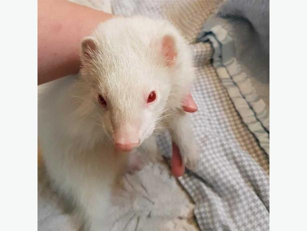 Demon - Ferret Small Animal - Exotic