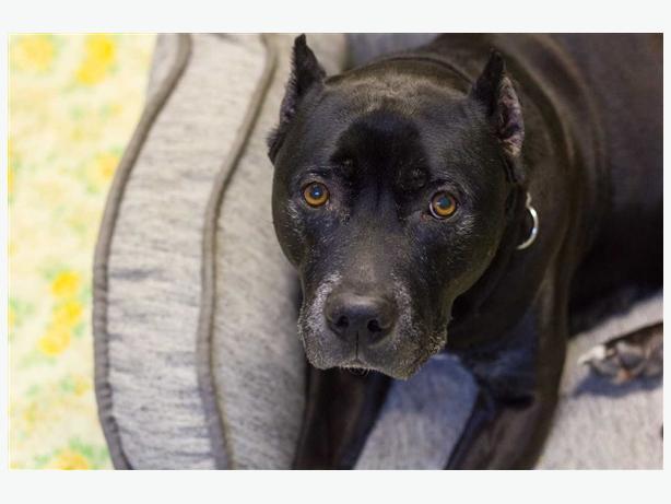 Rocko - Pit Bull Terrier Dog