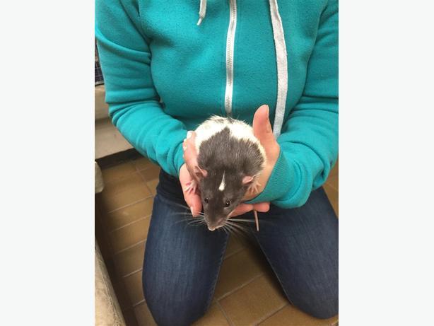 Doc Holliday - Rat Small Animal