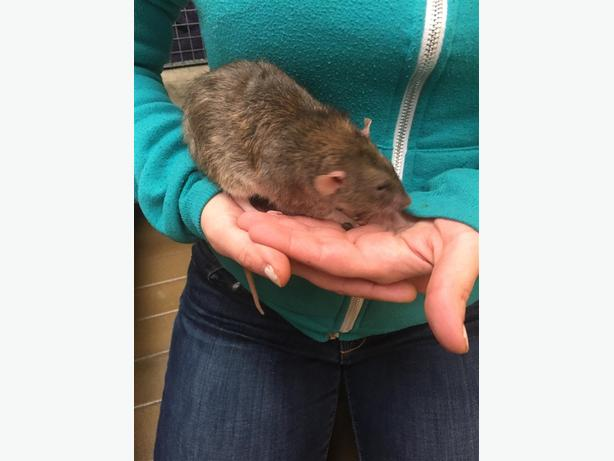 Morgan Earp - Rat Small Animal