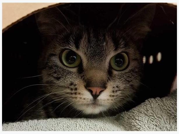 Kittens - Domestic Short Hair Cat