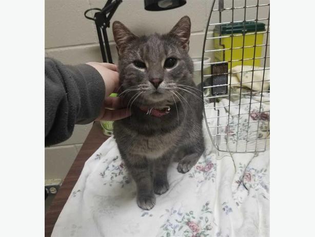 Cathy - Domestic Short Hair Cat