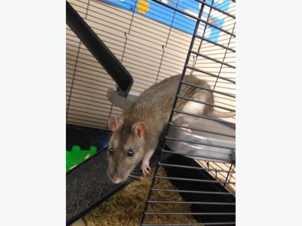 Bea - Rat Small Animal