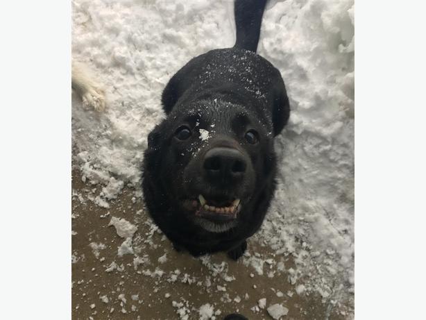 Sasha - Border Collie Dog