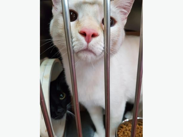 Otis - Siamese Cat