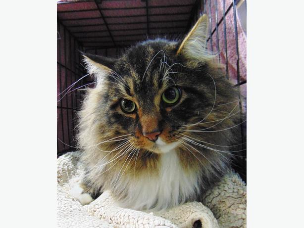 Mister - Domestic Longhair Cat