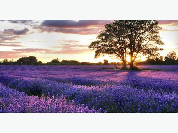 Large feild available for Lavender production