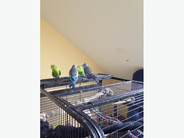 Free to a good home - 5 budgies and cage Saanich, Victoria