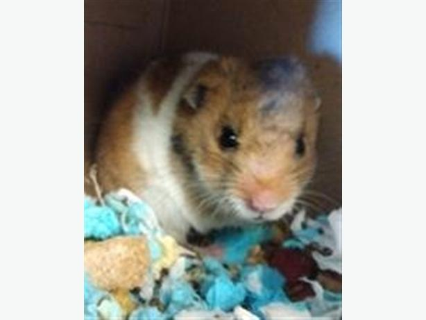 Nacho - Hamster Small Animal