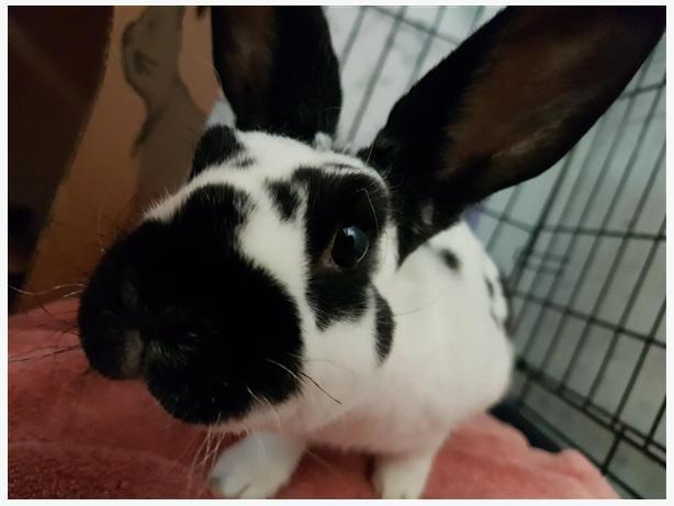 Rexi - Rex Rabbit