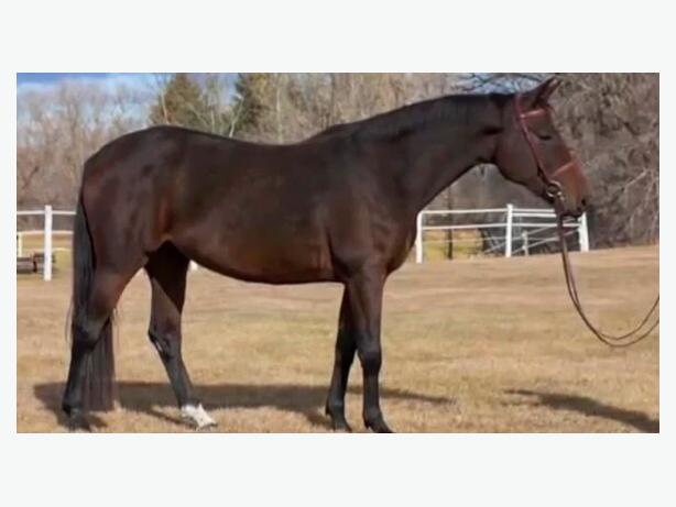 Oldenburg mare for lease