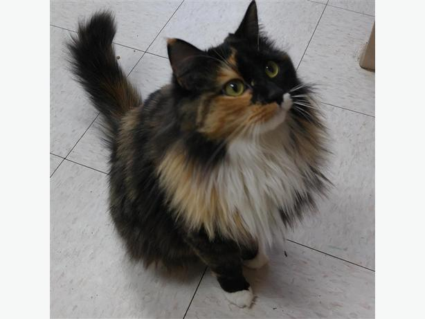 Mittens - Domestic Longhair Cat