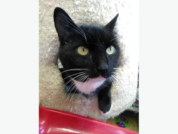 Gemma - Domestic Short Hair Cat