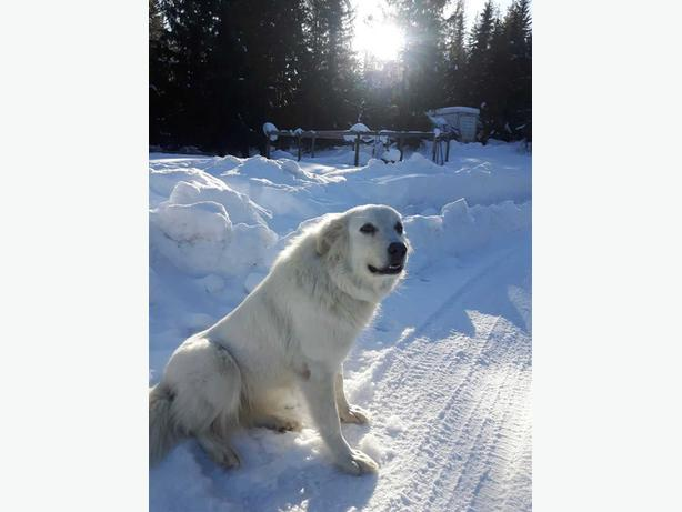 Halo - Great Pyrenees Dog