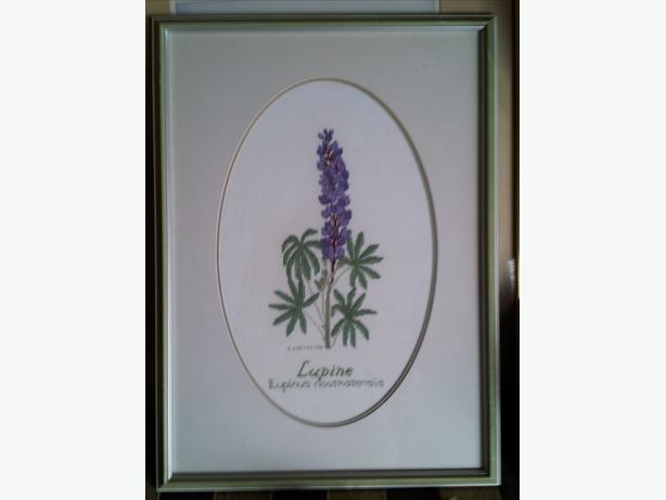 Nootka Lupin Picture
