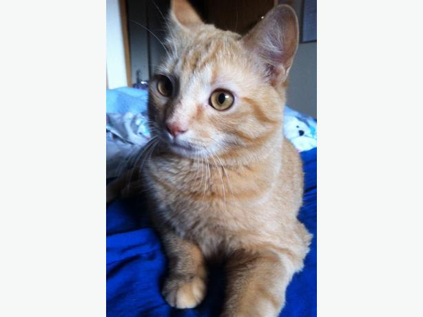 Laurel - Domestic Short Hair Cat