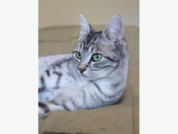 Silverbell - Domestic Short Hair Cat