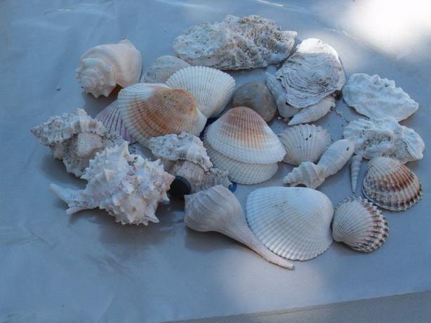 sea shells various shells ,