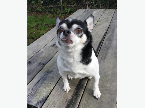 Macy - Chihuahua Dog