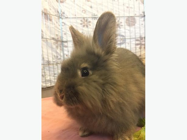 Dusty - Lionhead Rabbit