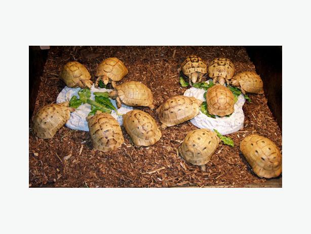 Tortoises and Ball Python Snakes