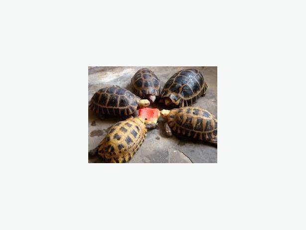 Star Tortoises/Hermann tortoises