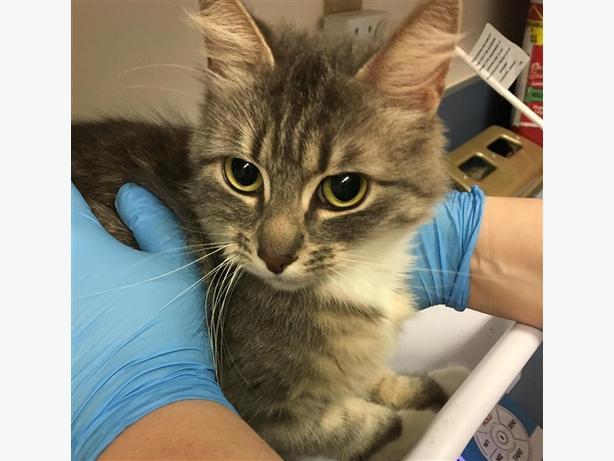 Molly - Domestic Medium Hair Cat