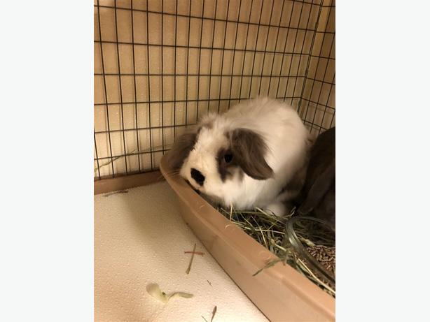 Casper - Lionhead Rabbit