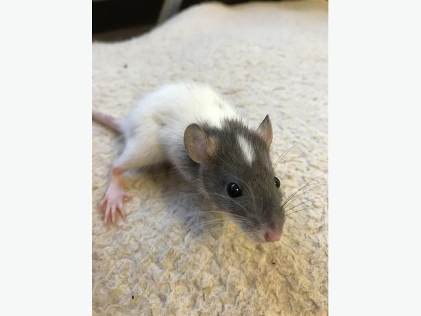 Lydia - Rat Small Animal