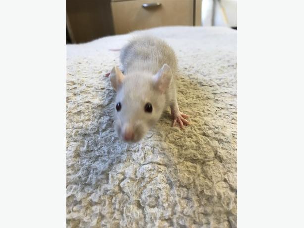 Nora - Rat Small Animal