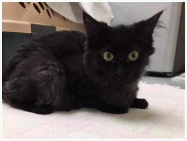 Aries - Domestic Longhair Kitten