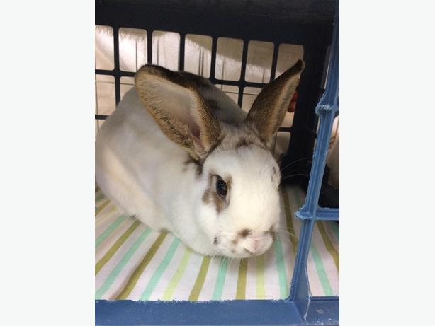 Oliver - Rhinelander Rabbit