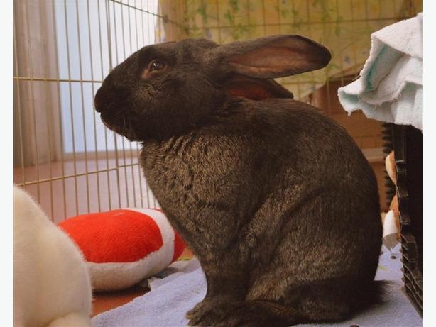 Milhouse - American Rabbit