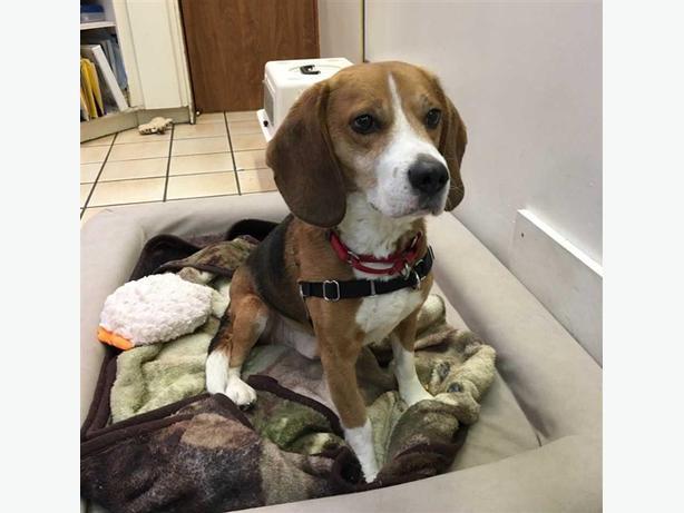 Lobus - Beagle Dog