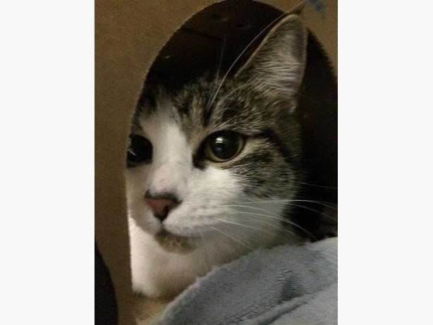 Mable - Domestic Medium Hair Cat
