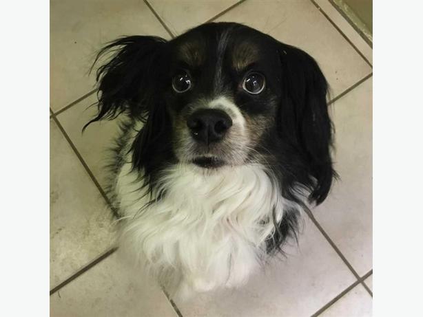 Charlie - Cavalier King Charles Spaniel Dog