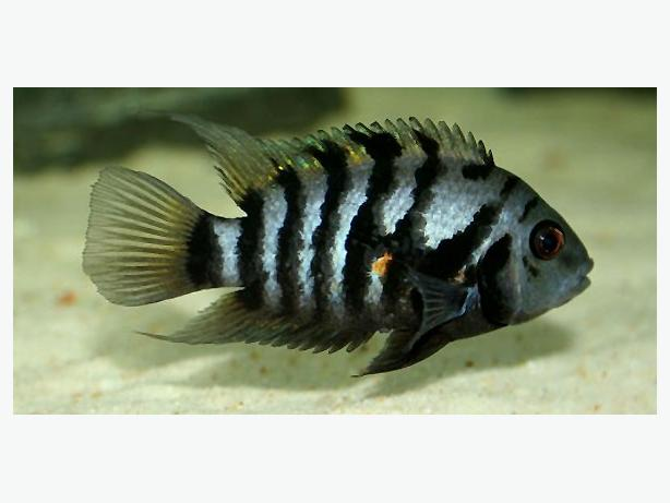 1 $ healthy Convict chichlids