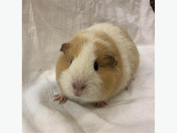 Amelia - Guinea Pig Small Animal